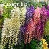 Сажанцы Глицинии, цвета самой разной окраски