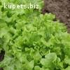 Семена салата KS 190 фирмы Китано
